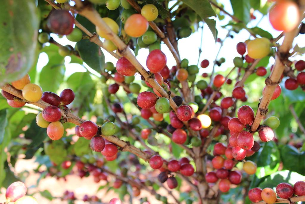 Rota do Café: uma experiência incrível na Fazenda Palmeira.
